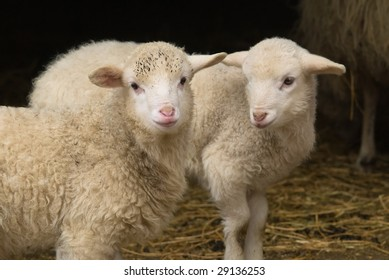 Close-up of two little spring lambs against the rustic background of a barn, focus on the lamb looking straight into the camera