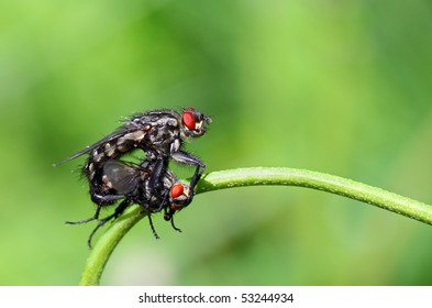 Closeup of two mating flies
