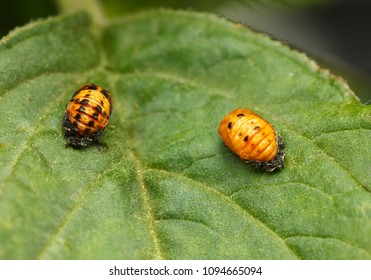 Closeup of two orange pupa of ladybird (Coccinellidae, Coccinella) on green leaf