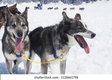 Close-up of two panting Alaskan huskies on a glacier