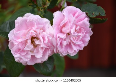 Closeup of two pink roses growing in the garden