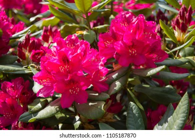 Closeup of two red rhododendron flowers
