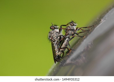 Close-up of two robber flies (efferia aestuans), copulating on a gray surface. Male having his paw on the female's head. Isolated on green background.