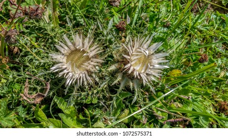 Close-up two shiny blossoms of a carline thistle growing in the Alps in the grass