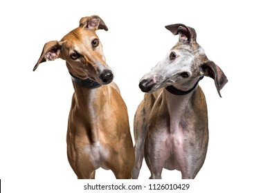 Close-up of two Spanish greyhound dogs, isolated on white