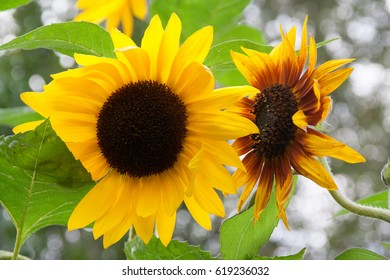 close-up of two sunflower blossoms
