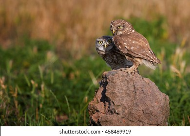 Close-up two wild Little owl, Athene noctua, adult feeding juvenile, perched on rock, staring directly at camera against colorful grassland in background. Europe.