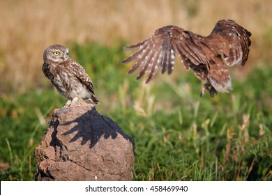 Close-up two wild Little owl, Athene noctua, adult flying to feed  juvenile, perched on rock, staring directly at camera against colorful grassland in background. Hungary, Europe.