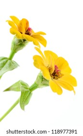 Closeup of two yellow zinnia flowers isolated on white