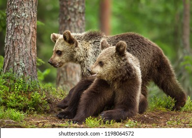 Close-up of two young Eurasian brown bears in boreal forest, Finland.