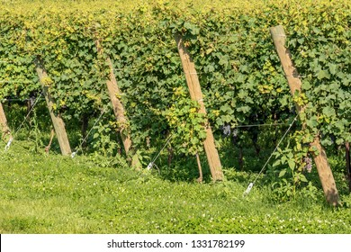 Close-up of a typical Italian red grape vineyard of the Valpolicella Wine at the base of the hill near Verona, Italy, Europe