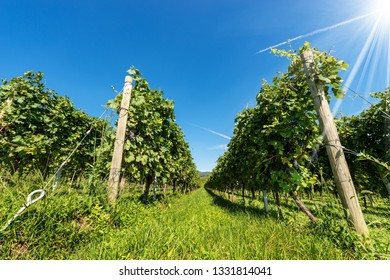 Close-up of a typical Italian red grape vineyard of the Valpolicella Wine on clear blue sky with sun rays. Verona, Veneto, Italy, Europe