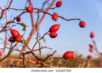 Close-up of uncultivated red rose hip in nature with clear sky as background, selective focus