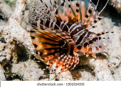 Close-up underwater lion fish (Pterois Miles) swimming in the ocean –image
