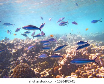 A closeup underwater shot of a school of blue zebrafish swimming near a coral reef