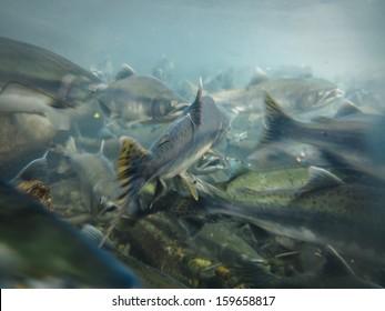 Closeup underwater view of a school of sockeye salmon spawning in the Kenai River Alaska