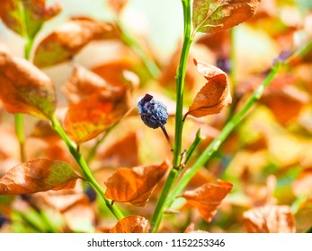 Closeup of an unharvested dried ripe but shriveled blueberry