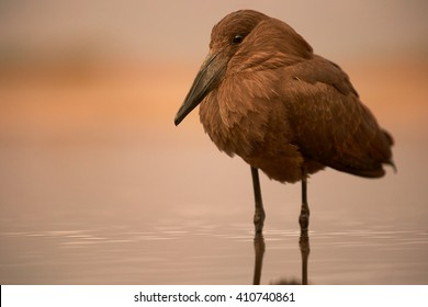 Close-up, unusual brown african wading bird, Scopus umbretta, Hamerkop or  Hammerhead, standing in shallow water during sunset against orange coloured background.
