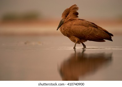 Close-up, unusual brown african wading bird, Scopus umbretta, Hamerkop or  Hammerhead, walking in shallow, calm water during colorful sunset against orange coloured background.