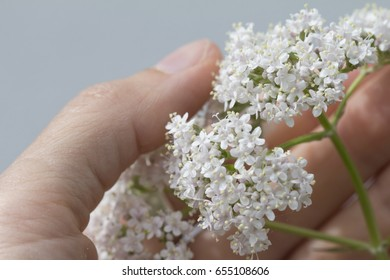 closeup of valerian flower in female hand