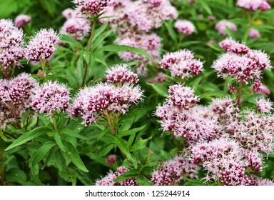 Close-up of Valeriana officinalis or valerian plants blooming.