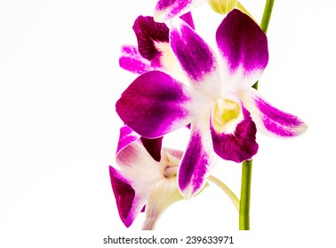 closeup vanda orchid on white background
