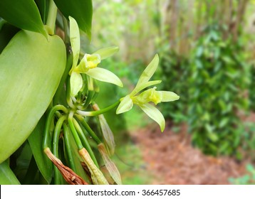 Closeup of The Vanilla flower on plantation. Reunion Island, agriculture in tropical climate.