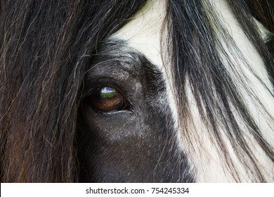 Close-up of a Vanner Cob horse's eye, with farmland scenery reflected in it.