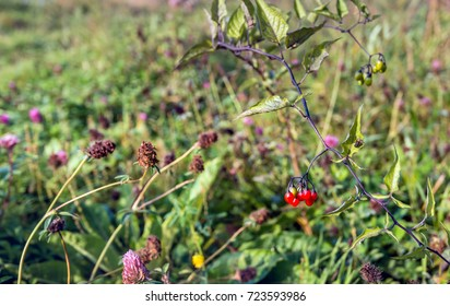 Closeup of various flowering and overblown wild plants growing on the slope of a Dutch embankment in the fall season. In the foreground the poisenous red berries of bittersweet nightshade.