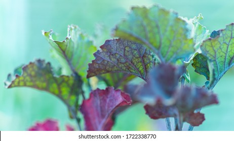 close-up of veiny lettuce leaves