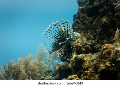 Close-up of venomous lionfish swimming on coral reef in Hol Chan Marine Reserve Belize