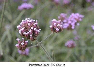 Closeup Verbena bonariensis or purpletop vervain with blurred background in flower garden