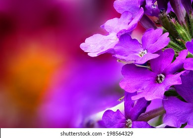 Closeup of Verbena (Verbenaceae) with beautiful colored background