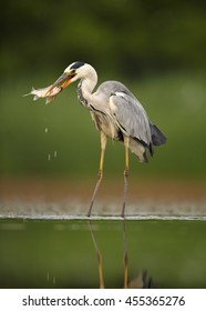 Close-up, vertical Ardea cinerea,  Grey Heron  in shallow water with succesful catch. Fish in beak, splashing water. Ground level photography, abstract green background. Moravia wetlands, Europe.