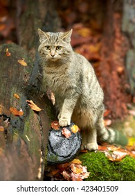 Close-up, vertical photo of  European Wildcat, Felis silvestris, posing in front view  in wet, colorful european autumn forest on mossy trunk against blurred fallen leaves.