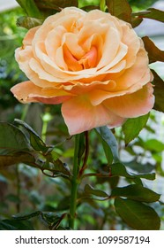closeup vertical photo of a peach rose on stem with greenery in background