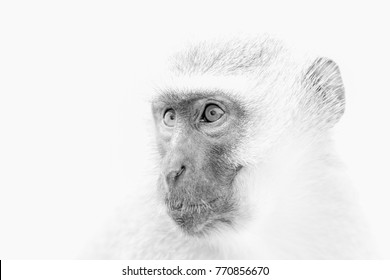 Closeup of a Vervet Monkey in black and white high key