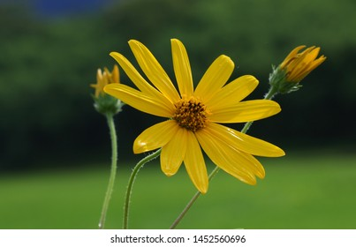 Close-up: The very beautiful yellow flowers of Jerusalem artichoke or Helianthus tuberosus or Sunroot or Sunchoke or Earth apple or Topinambour on soft nature background. Northern Thailand.