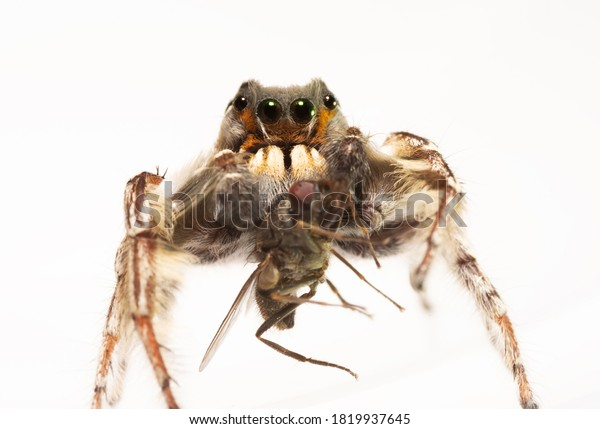 closeup-very-handsome-male-phidippus-600