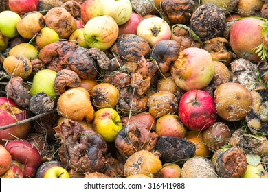 Close-up of very rotten green, yellow and red apples on a compost heap on an allotment site