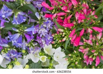 Closeup of vibrant beardtounge and bellflower blossoms.
