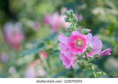 Closeup vibrant and blooming Hollyhock with blurred leaf background, Beautiful hollyhock in garden.