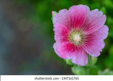 Closeup vibrant  blooming Hollyhock with blurred leaf background, Beautiful hollyhock flower, Holly hock or Alcea rosea in garden.