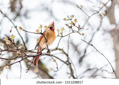 Closeup of vibrant female red northern cardinal Cardinalis bird looking scared crest up sitting perched on tree branch during winter snow colorful in Virginia