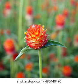 Closeup of vibrant red orange flower of Strawberry Fields Gomphrena, in blurred field of green and red.