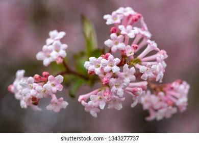 Close-up viburnum pink flowers in early spring. Viburnum farreri fragrant blooms cluster. Beautiful ornamental flowering shrub in the park.