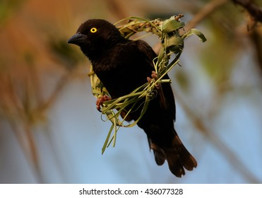 Close-up, Vieillot's Black Weaver, Ploceus nigerrimus. Black male with bright yellow eyes buliding its nest by weaving grasses, perched in nest centre against orange background. Uganda, Kibale forest.