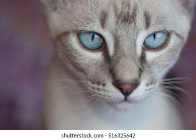 Closeup view of adorable blue eyes cat with colorful background