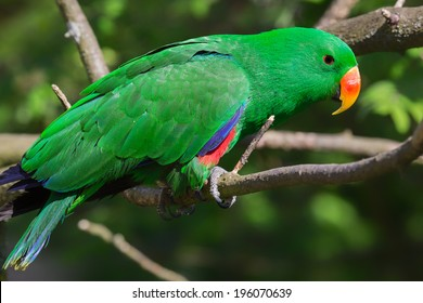 Close-up view of an adult male Eclectus Parrot - Eclectus roratus