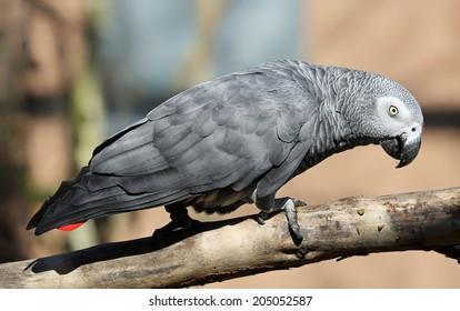 Nahaufnahme eines afrikanischen grauen Papagei (Psittacus erithacus)